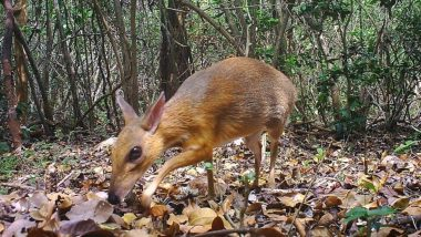 Cat-Sized Deer Believed to Be Extinct 30 Years Ago Filmed in Vietnam Forest (Watch Video)