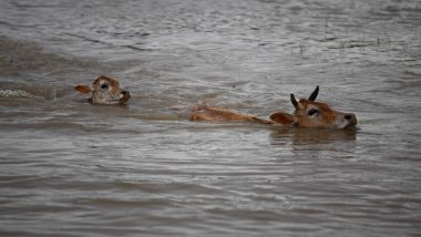 Hurricane Dorian: Cows in US Swim Miles to Safety After Storm Sweeps Them Into the Sea