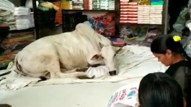 Stray Cow Visits a Cloth Store in Andhra Pradesh Village Everyday And Nobody Knows Why! (Watch Video)