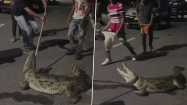 6.5-Foot-Long Crocodile Rescued From Drainage in Gujarat Amidst Heavy Rainfall; Video Goes Viral