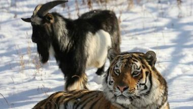 Russian Goat, Timur Who Made Friends With a Tiger Dies of Ill Health