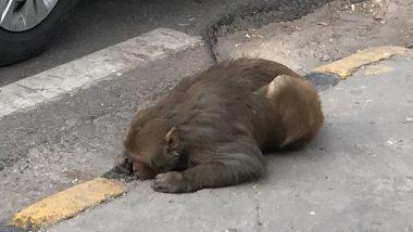 Maneka Gandhi Sends Car to Rescue Injured Monkey Lying on Roadside in Central Delhi