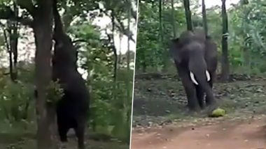 Elephant Climbs Tree to Pluck Jackfruit, Smashes and Gobbles It Up, Watch Video