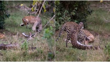 Leopard Kills a Python and Smashes The Snake's Skull During Epic Battle in Africa's Masai Mara National Park (View Thrilling Pics)
