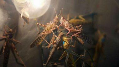 Locust Attack: 10 Districts in Uttar Pradesh on Alert After 'Tiddi Dal' Attacks Crops in Neighbouring Rajasthan, Madhya Pradesh