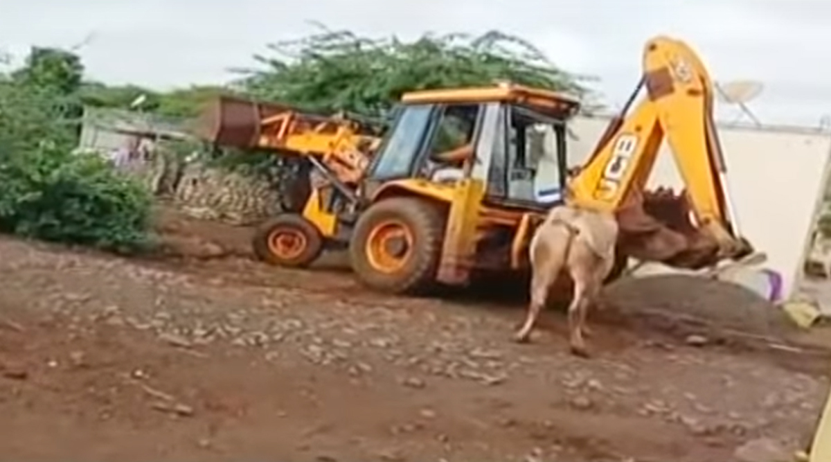 Maharashtra: Bull Killed Using JCB by Farmers in Pune District, Video of Gruesome Incident Sparks Outrage