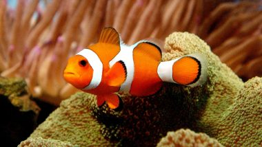 'Nemo' Fish Can See UV Light and Use It to Find Friends, Food: Study
