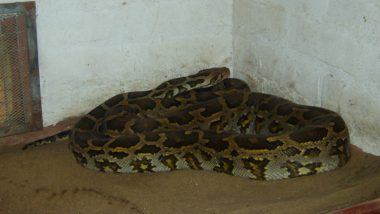 Python Measuring 13-feet Hid in China Spa Ceiling For 10 Years, Found After Falling Through Plasterboard