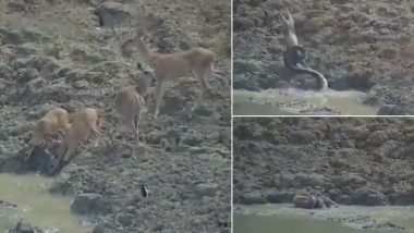 Python Jumps Out to Attack a Deer Drinking Water From Pond in Maharashtra Forest (Watch Viral Video)