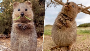 So Adorable Quokka! Wildlife Photographer Shares Cute Photos of Furry Creatures, Wins Netizen's Heart