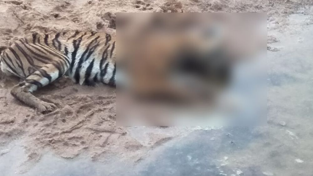 Tiger Found Dead in Dhaba Village in Maharashtra's Chandrapur District