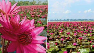 Pink Water Lilies Bloom in 100-Acre Field in Kerala' Kottayam District; Breathtaking Sight Attracts Tourists at Ambattu Kadavu And Malarikkal Village (See Pictures)