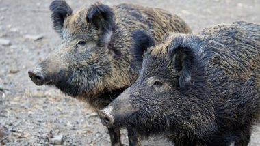 Wild Boars Snort Cocaine Worth £17,000 Hidden in Italian Forest; Drug Dealers Held