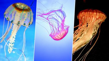 World Jellyfish Day 2019: Types of Jellies Found in the Marine World And Their Characteristics (Watch Videos)