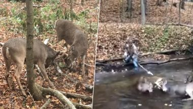 Horny Situation! Two Deer Whose Horns Get Locked While Mating Freed by Hunter With Electric Saw (Watch Video)