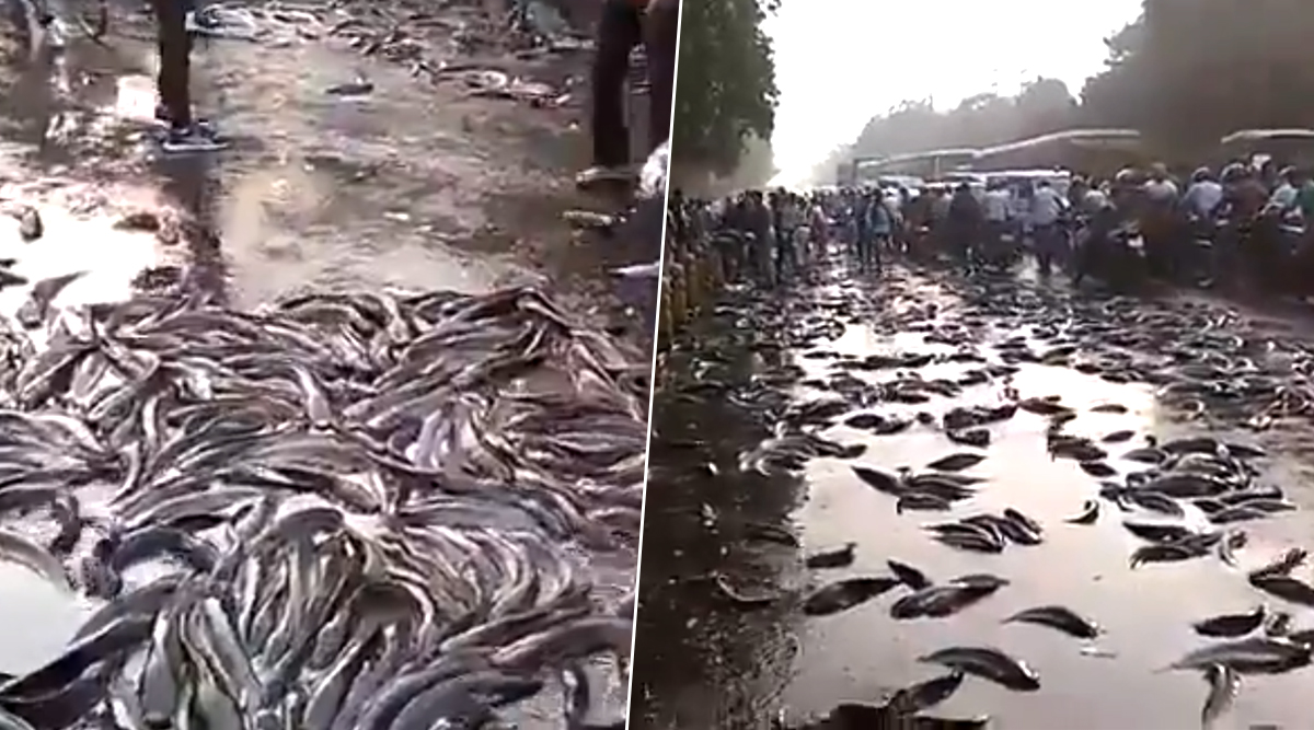 Free Fish! Truck Carrying Fish Topples in Kanpur, Locals Rush With Bags and Buckets to Carry Them Home (Watch Viral Video)
