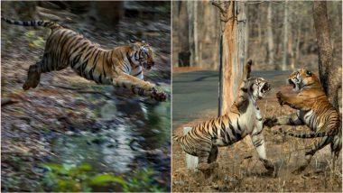 Anil Kumble Shares Rare Pics of Maya the Tigress Ferociously Fighting Another Tigress to Protect Her Territory at Maharashtra's Tadoba National Park