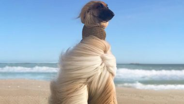 Beautiful Pictures of Afghan Hound Dog Breed Will Make You Crave A Long Luscious Mane Like Them!