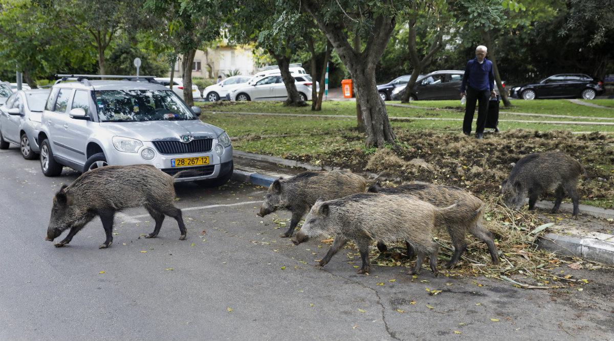 Israel: Boorish Wild Boars Hog Highways in Haifa