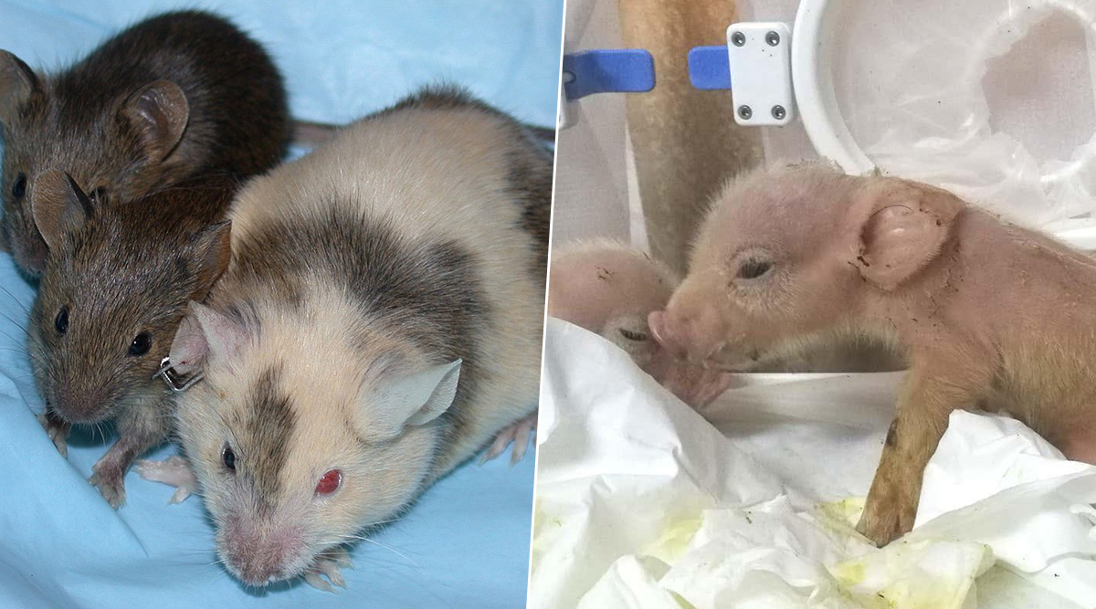 Scientists Develop Monkey-Pig Chimeras, List of Other Chimeric Animals That Have Been Made For Genetic Experiments