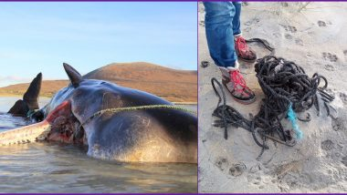 Dead Sperm Whale Found With 220 Pounds of Garbage Debris in His Stomach on Scottish Island (View Shocking Pics and Video)