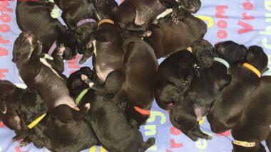 Dog Gives Birth to 21 Puppies Naturally, May Set New World Record (Watch Video)