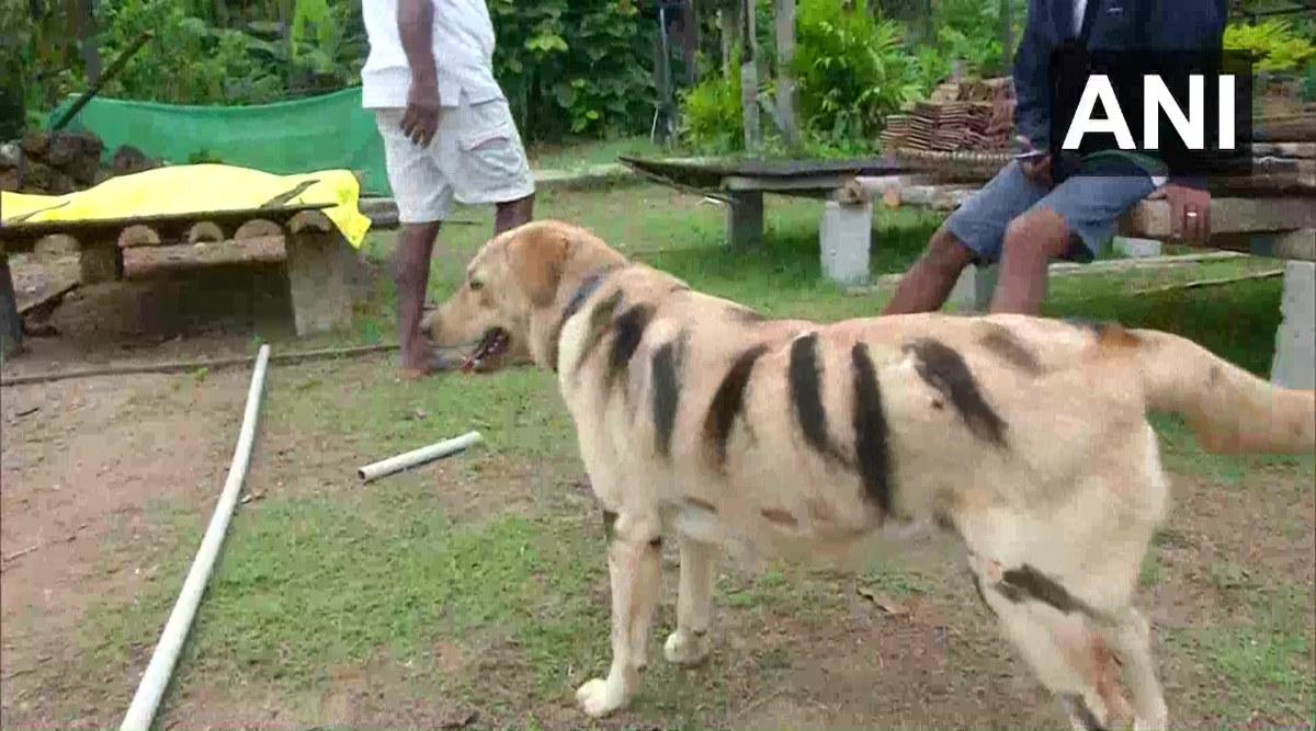 Karnataka Farmer Paints His Dog as Tiger to Save Crop from Menacing Monkeys