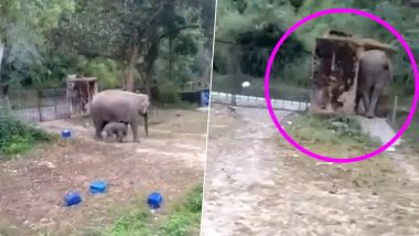 Elephant Breaks Wall After Getting Trapped With Its Calf, Video Goes Viral