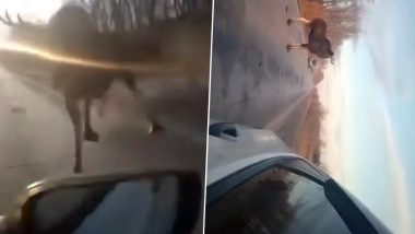 Angry Elk Attacks Car on Russian Highway Leaving Driver Terrified, Video Goes Viral