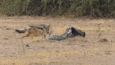 Python, Honey Badger and Two Jackals Fight For Survival in Africa's National Park (Watch Dramatic Video)
