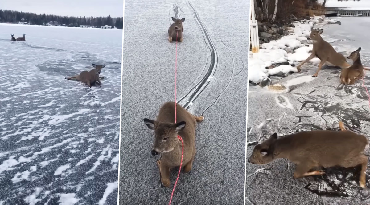Man Rescues a Family of Deer While Skating on a Frozen Lake in Canada, Wins Hearts Online After Video Goes Viral