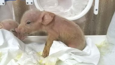 First Monkey-Pig Chimeras Created by Chinese Scientists, Die Within a Week (See Picture)