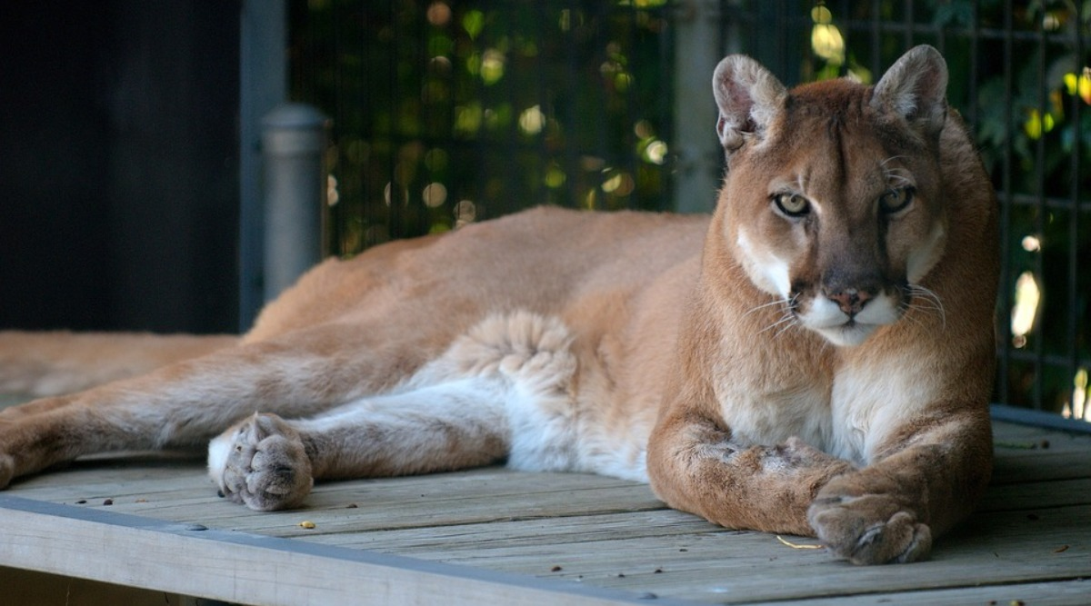 3 Mountain Lions Killed in Arizona Because They Feasted on Human Remains