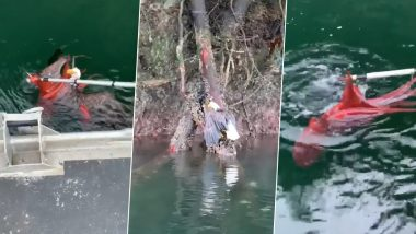 Octopus Tries to Kill Bald Eagle Who Attacked it in Vancouver Island! Bird Gets Saved by Salmon Farmers (Watch Viral Video)