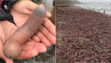'Penis Fish' Flood California Beach! XXX Pics of Phallic-Shaped Fat Innkeeper Worm Take Internet By Storm