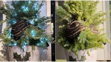 Python on a Christmas Tree! Australian Woman Finds 10-Foot-Long Snake Wrapped Around The Pine, View Ssscary Pic!