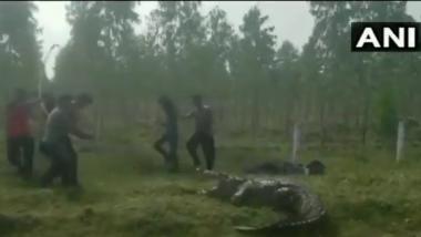 Vadodara: Massive 12-Feet-Long Crocodile Rescued From Raval Village, Watch Viral Video