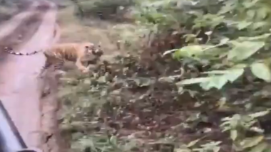 Tigress Chases Tourists During Safari Ride at Ranthambore National Park in Rajasthan's Sawai Madhopur, Viral Video Scares Netizens