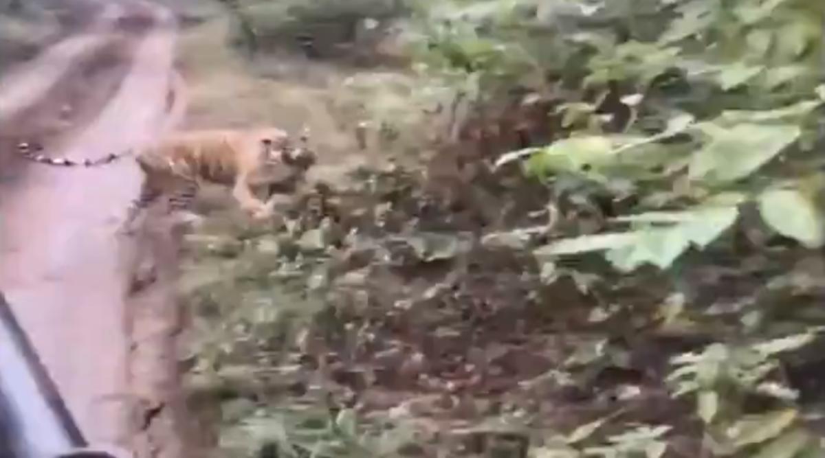 Tigress Chases Tourists During Safari Ride at Ranthambore National Park in Rajasthan's Sawai Madhopur, Viral Video Scares Netizens