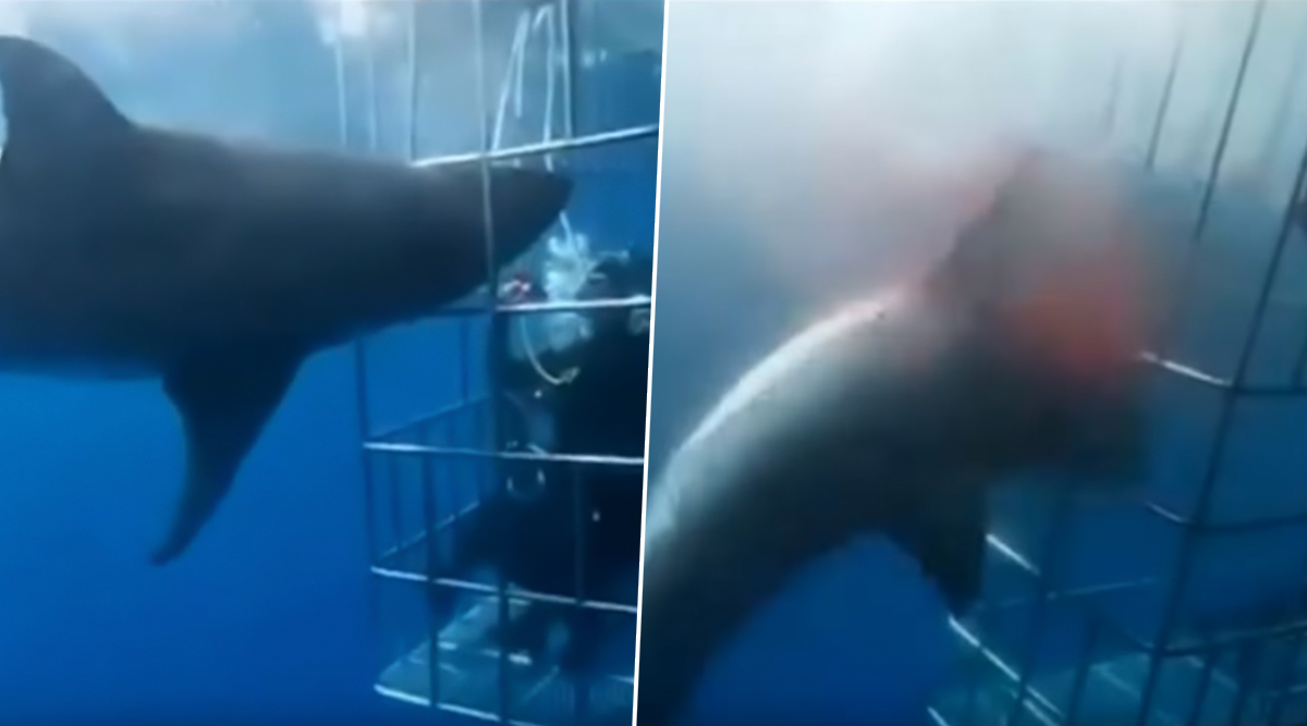 Great White Shark Bleeds to Death After Its Gills Get Stuck in Adventure Cage in Mexico (Watch Shocking Video)