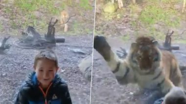 Tiger Attack Video! Dad Captures Scary Moment a Big Cat Tried to Attack His Son at Dublin Zoo (Watch Viral Video)