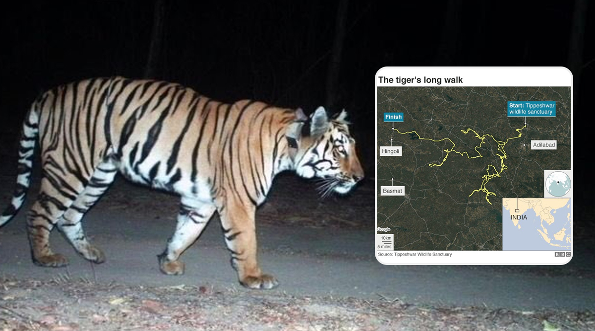 Maharashtra: Tiger Walks 1,300 Kms in 5 Months to Find a Mate and Prey, Making it The 'Longest Walk Ever'