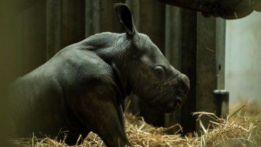 Rare White Rhino Born in Belgian Zoo (Watch Pics and Video)
