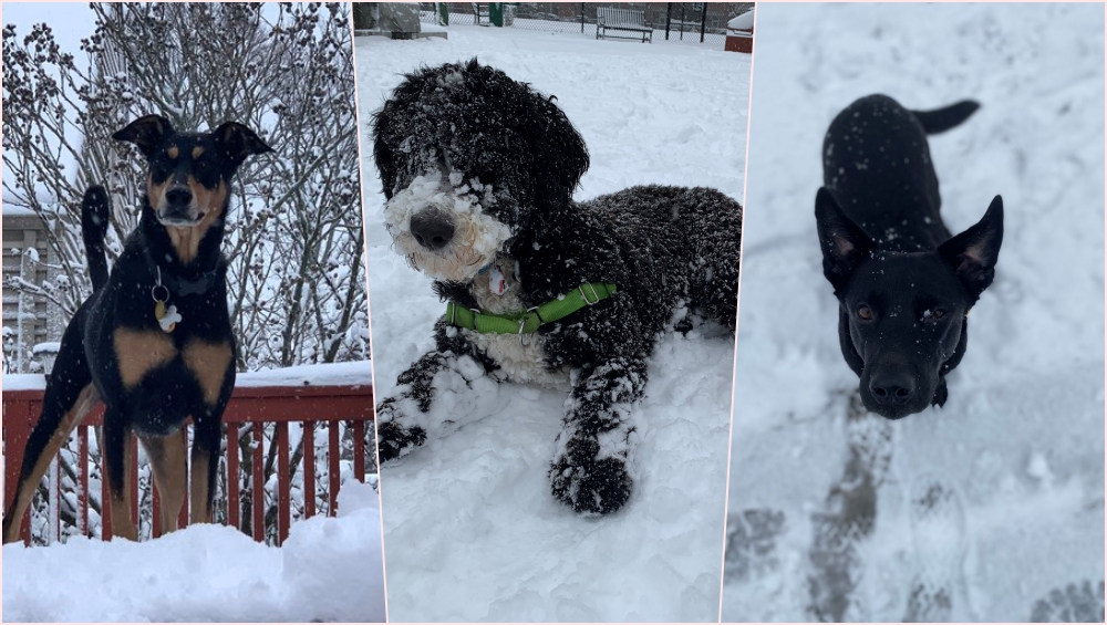 It's Winter! Dog Owners Share Outrightly Adorable Photos and Videos of Their Pets Playing in First Snow of This Season