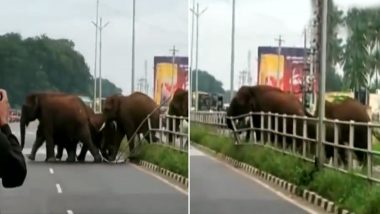 Herd of Wild Elephants Halt Traffic As They Break the Centre Median to Cross National Highway in Coimbatore (Watch Video)