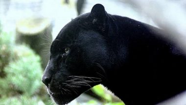 Panther Creates Panic at a Residential Area in Jaipur, Tranquilised After Injuring Two Forest Officials