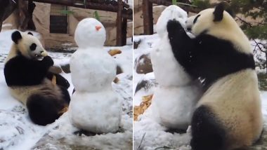 Moscow Zoo Panda Dindin Delightfully Eats Arms and Nose of Snowman, Adorable Video Goes Viral