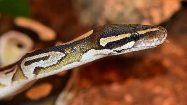 Python on a Plane! Snake Falls From Jet Onto Runway At New Zealand Airport