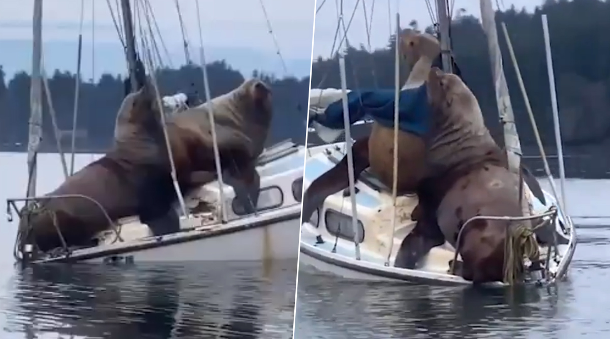 Two Giant Sea Lions Nearly Sink the Boat While Taking a Joy Ride in US, Watch Video