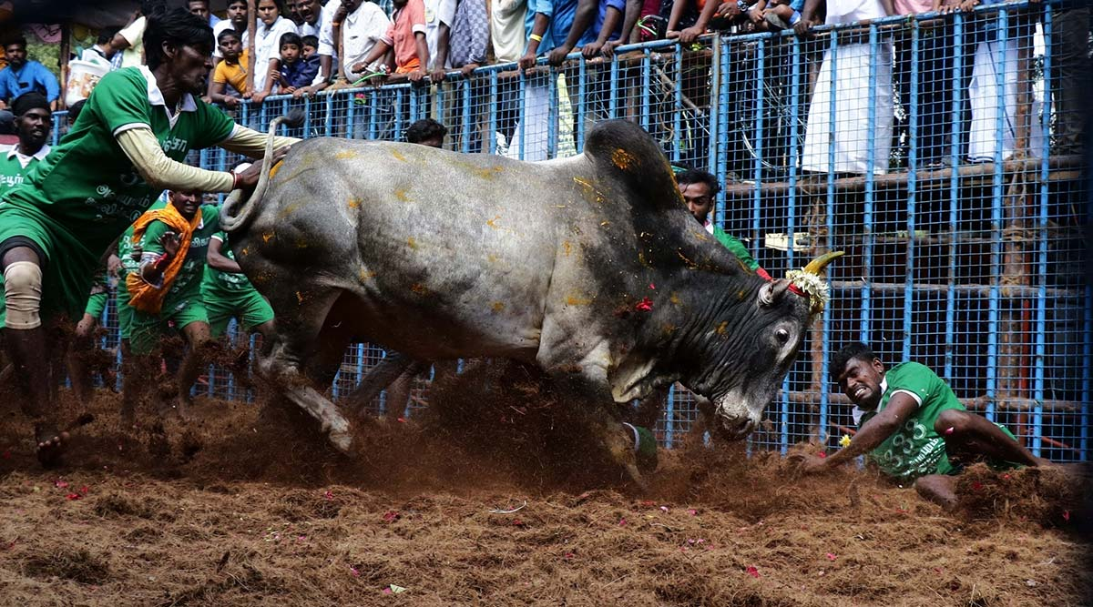 Jallikattu to Be Held in Tamil Nadu's Palamedu Today Amid Fanfare, 700 Bulls to Participate This Year; Watch Video